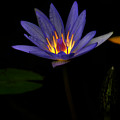 Lotus Bloom 2 by Mike Nellums