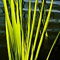 Water Reeds by David Pyatt