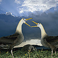 Waved Albatross Courtship Dance by Tui De Roy
