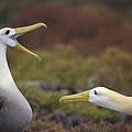 Waved Albatross Courtship Display by Tui De Roy
