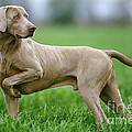 Weimaraner Dog by Jean-Michel Labat