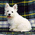 West Highland White Terrier Puppy by John Daniels