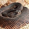 Western Diamondback Rattlesnake by David Northcott