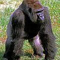 Western Lowland Gorilla Silverback by Millard H. Sharp
