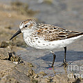Western Sandpiper Calidris Mauri by Anthony Mercieca
