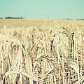 Wheat Crop by Tom Gowanlock