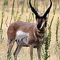 Where The Antelope Play by Jemmy Archer