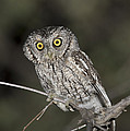 Whiskered Screech Owl by Anthony Mercieca