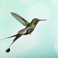 White-booted Racket-tail Hummingbird by Nicolas Reusens/science Photo Library