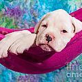 White Boxer Dog Puppy by Doreen Zorn