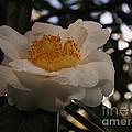 White Camellia by Jacklyn Duryea Fraizer