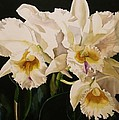 White Cattleya Orchids by Alfred Ng