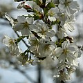 White Cherry Blossoms by Christiane Schulze Art And Photography