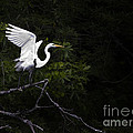 White Egret's Takeoff by J L Woody Wooden