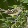 White-eyed Vireo by Anthony Mercieca