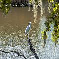White Heron In Magnolia Cemetery by Dale Powell
