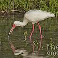 White Ibis by Anthony Mercieca