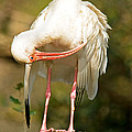 White Ibis by Millard H. Sharp
