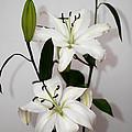 White Lily Spray by Carole-Anne Fooks