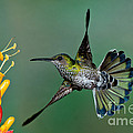 White-necked Jacobin by Anthony Mercieca