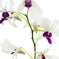 White Orchids by Bradley R Youngberg