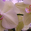 White Orchids by Dora Sofia Caputo Photographic Design and Fine Art