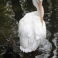 White Pelican by Christiane Schulze Art And Photography