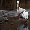 White Pelicans by Ernie Echols