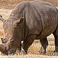 White Rhinoceros by Millard H. Sharp