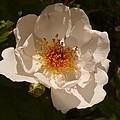 White Rose  by Christiane Schulze Art And Photography