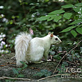 White Squirrel by Dwight Cook
