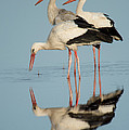 White Storks Ciconia Ciconia In A Lake by Panoramic Images