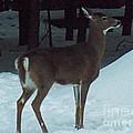White Tail Deer by Brenda Brown