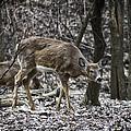White-tail Deer by Jayme Spoolstra