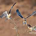 White-tailed Kite Siblings by Anthony Mercieca