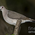 White-tipped Dove by Anthony Mercieca