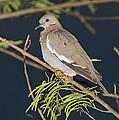 White-winged Dove by Anthony Mercieca