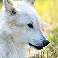 White Wolf by Athena Mckinzie