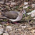 Whitetipped Dove by Doug Lloyd