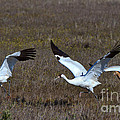 Whooping Cranes by Louise Heusinkveld