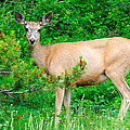 Wild Deer by Brandon Smith
