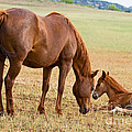 Wild Horse Mother And Foal by Millard H. Sharp