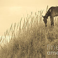 Wild Horse On The Outer Banks by Diane Diederich