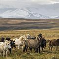 Wild Icelandic Horses by For Ninety One Days