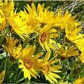 Wild Okanagan Sunflowers by Will Borden