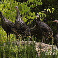 Wild Turkey Meleagris Gallopavo by Ron Sanford