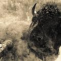 Wild West Bison by Andy-Kim Moeller