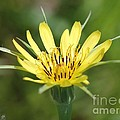 Wildflower Named Yellow Salsify by J McCombie