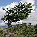 Wind-bent Tree In Tierra Del Fuego by Ralf Broskvar