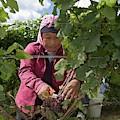 Wine Grape Harvest by Jim West